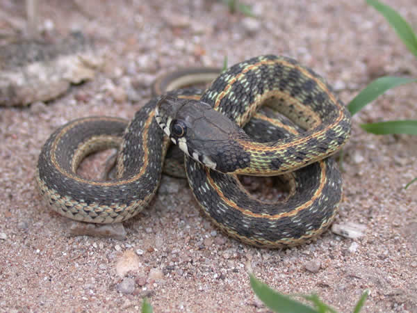 Thamnophis cyrtopsis cyrtopsis ID =