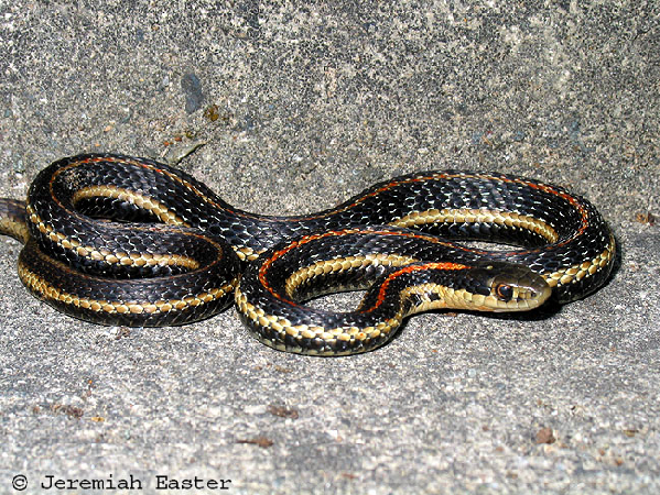 Thamnophis ordinoides ID =