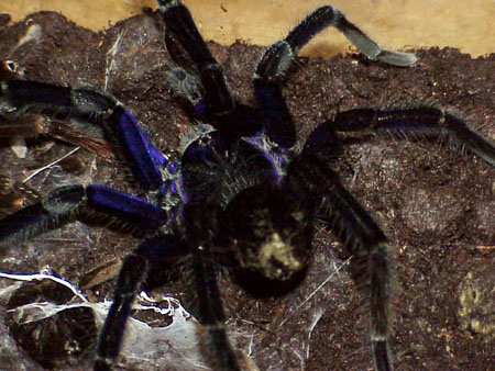Pamphobeteus antinous ID =