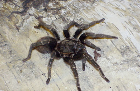 Pamphobeteus ultramarinus ID =