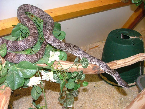 Pantherophis obsoletus spiloides ID =