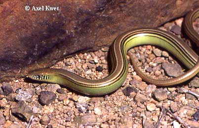 Ophiodes spec. ID =