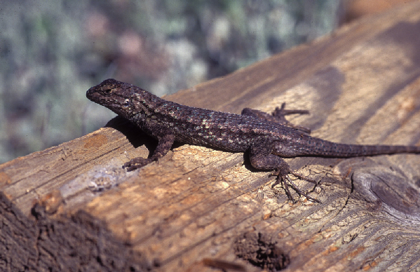 Sceloporus occidentalis ID =
