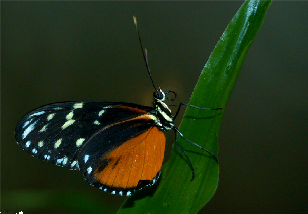 Heliconius hecale ID =
