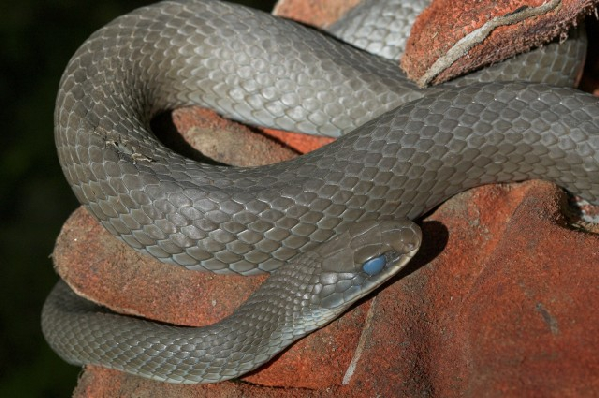 Coluber constrictor ssp. ID =