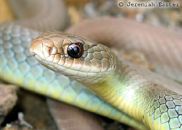 Coluber constrictor mormon ID =