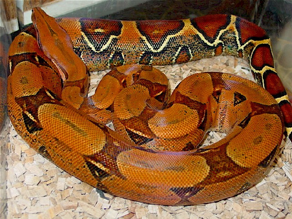 Boa constrictor constrictor Pastel ID =