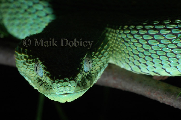 Atheris chlorechis ID =