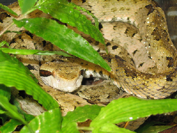 Bothrops venezuelensis ID =