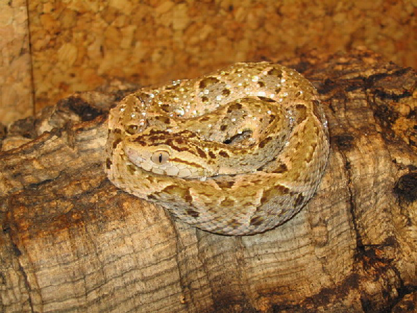 Bothrops asper ID =