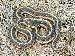 Thamnophis sirtalis fitchi