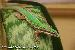 0,1 Phelsuma cepediana